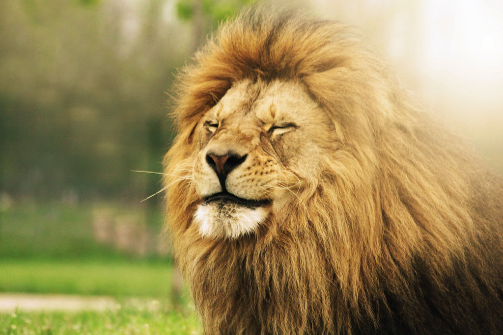 """lion smile"" 