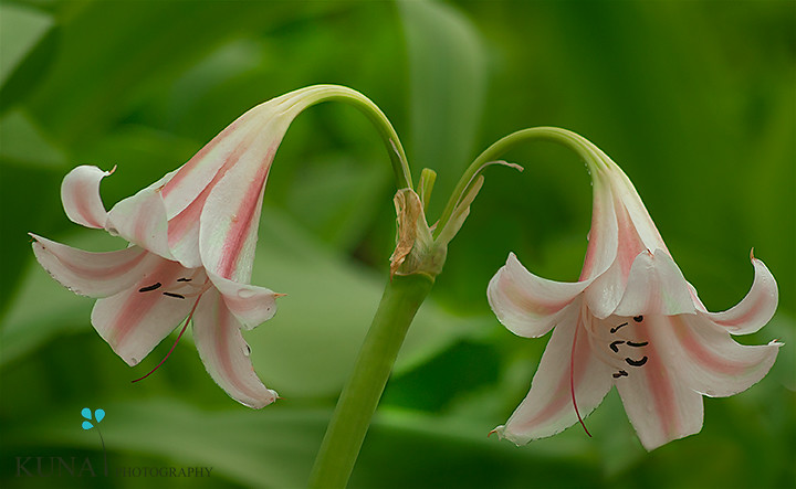 Common Name: Pink Striped Trumpet Lily