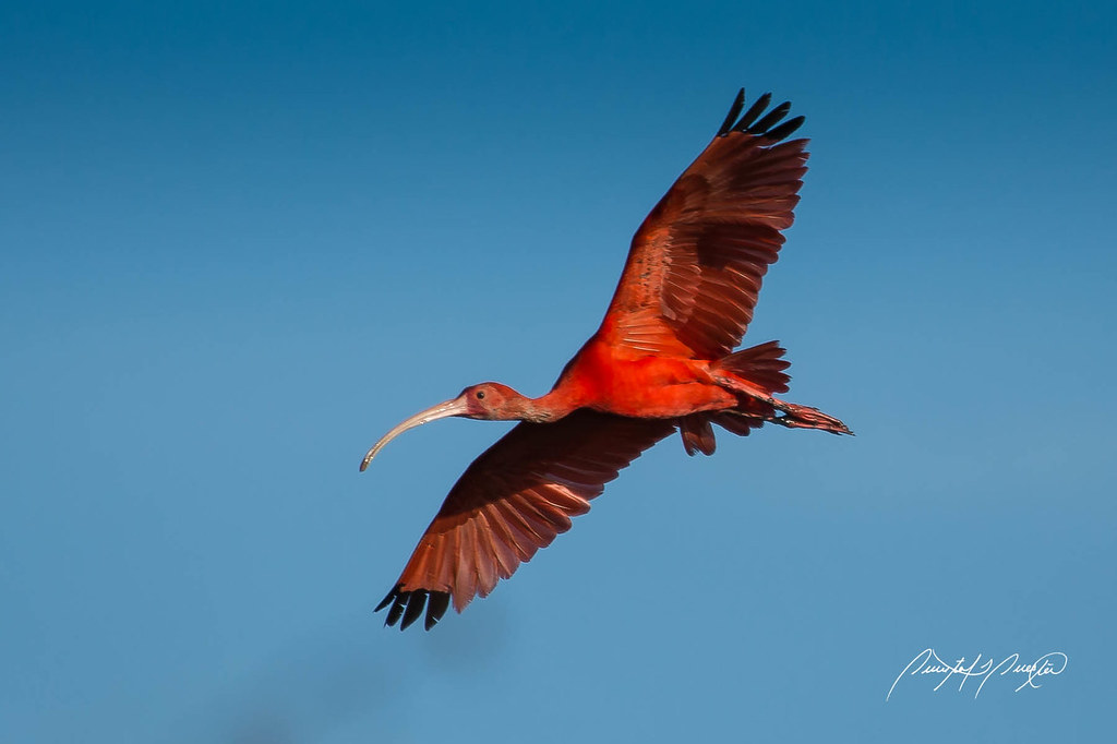 the scarlet ibis research paper