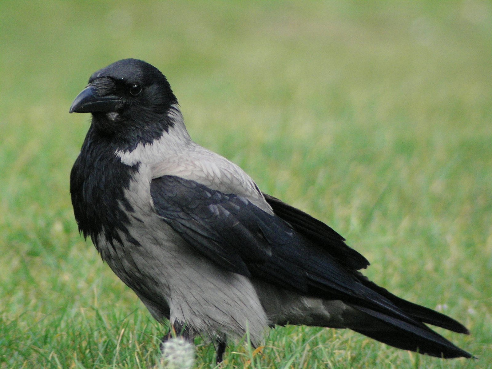 Hooded Crow_1093 | by Eugene Archer
