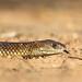 Mulga Snake