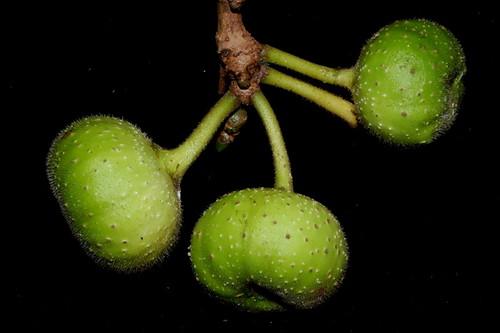 Ficus hispida DSC_0200
