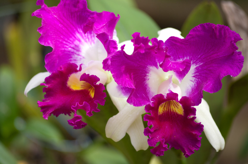 White Cattleya Orchids Pink White Cattleya Orchid