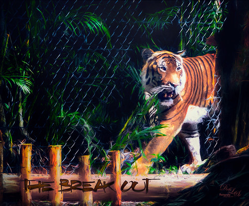 Image of a Malayan Tiger at the Palm Beach Zoo
