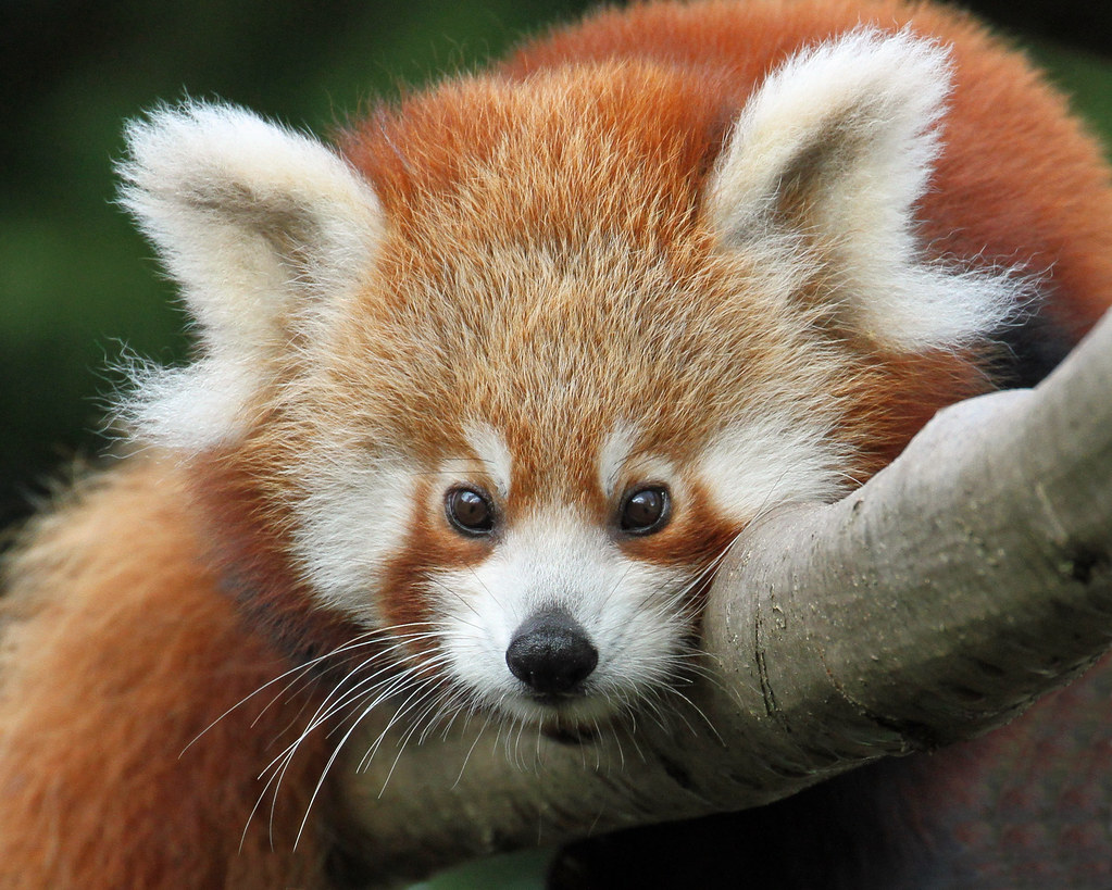 baby red panda taken at colchester zoo paul bugbee