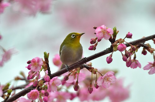 Mejiro ( メジロ) Japanese White-Eyes(Zosterops japonicus) in cherry blossoms