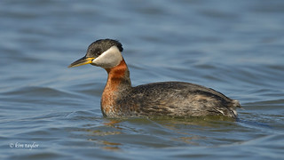 Red-necked Grebe, | by Kim Taylor Hull
