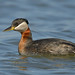 Red-necked Grebe,