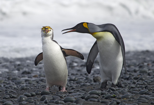 King and Royal penguin. Macquarie.