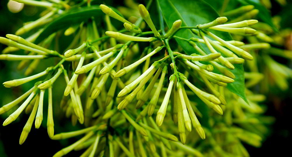 fragrant thai shrub