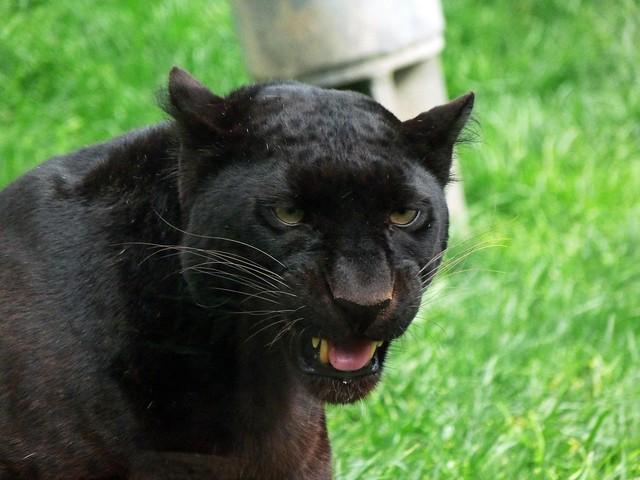 Pantera negra en Bioparc Valencia