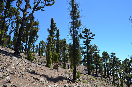 Pine forest above Vilaflor, Tenerife
