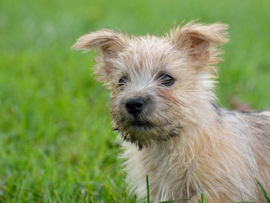 Pita a Norwich Terrier | 12 week old female Norwich, new ...