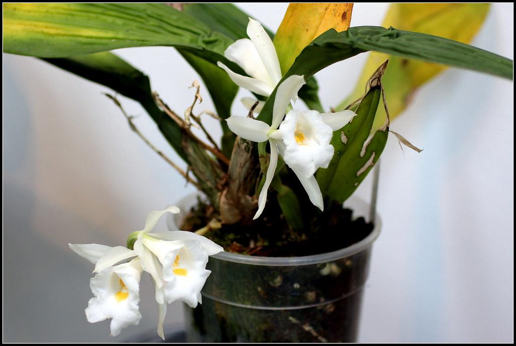 Orqu deas trichopilia hennisiana manuel m v flickr for Plantas ornamentales y medicinales