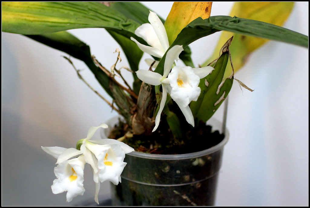 Orqu deas trichopilia hennisiana m a n u e l flickr for 20 plantas ornamentales