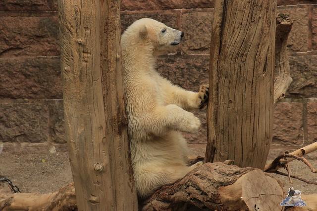 Eisbär Fiete im Zoo Rostock 14.06.2015  159