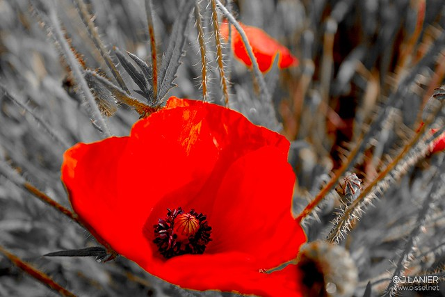 """""""Bloody Coquelicot"""" #7 - Oissel 06/2015"""