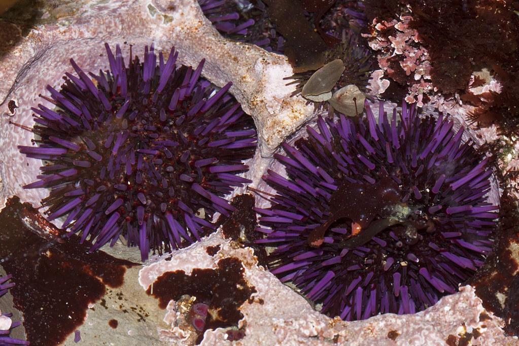 Purple Sea Urchin, Strongylocentrotus purpuratus | Montana ...