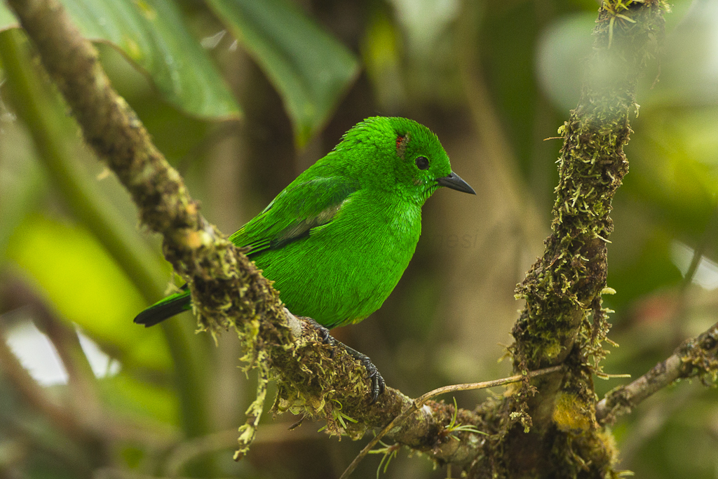 Glistening Green Tanager Las Tangaras Colombia S4e4586
