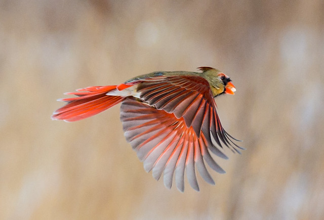 Female cardinal in flight - photo#9