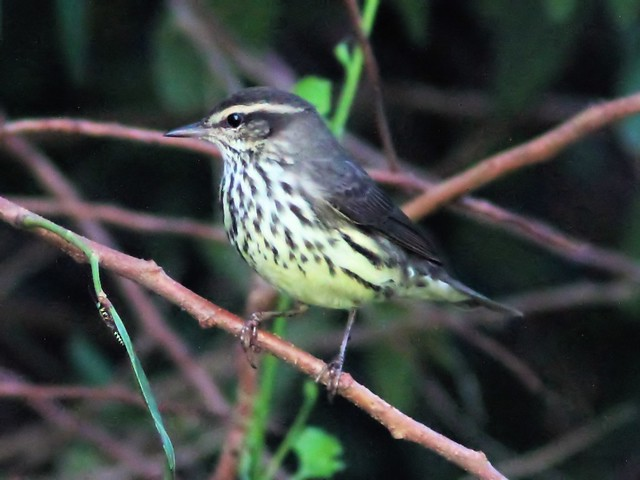Northern Waterthrush 20131010