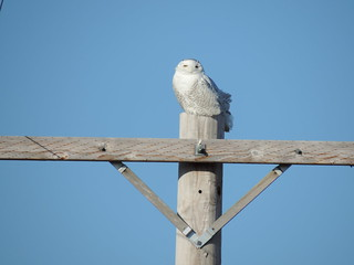 Taking pictures of the Snowy Owl
