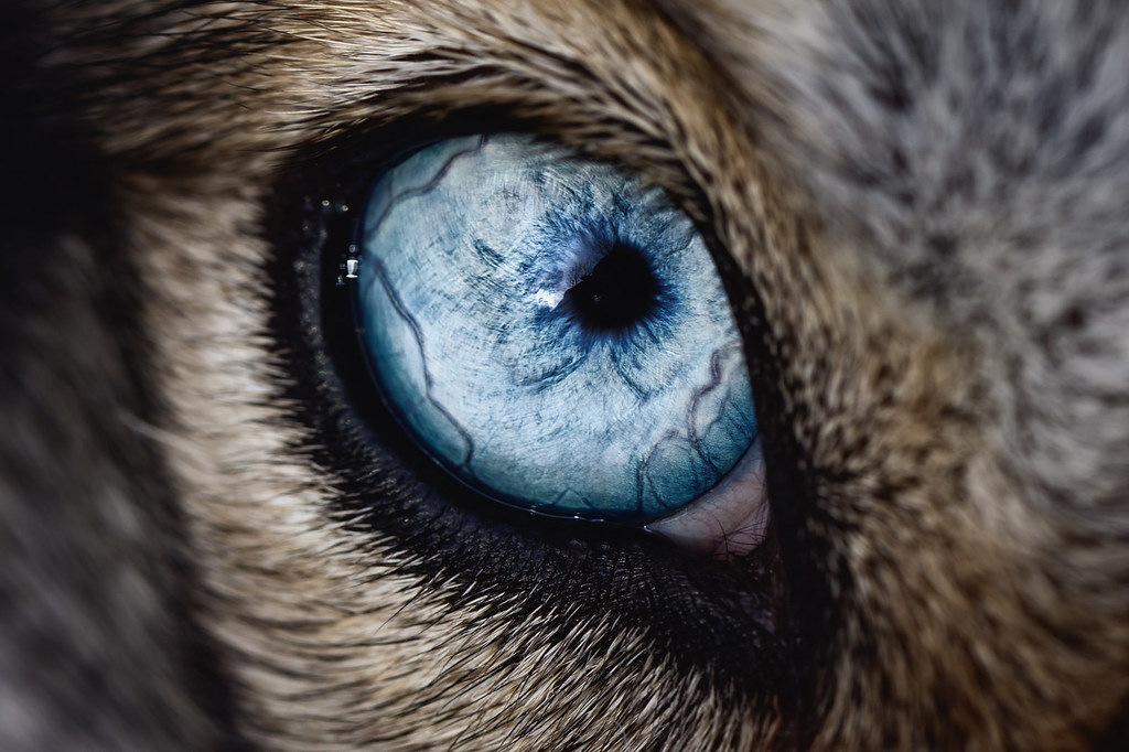 "Stunning ""9:365"" macro shot by Keith Johnston (keithj5000 ...Close Up Of An Animal Eye"