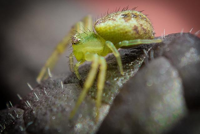 cangrejo verde: