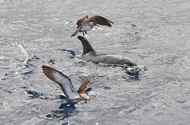 Bottlenose dolphins and shearwaters, Tenerife
