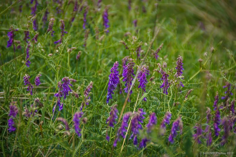 Flores azules en un prado de Marmellar
