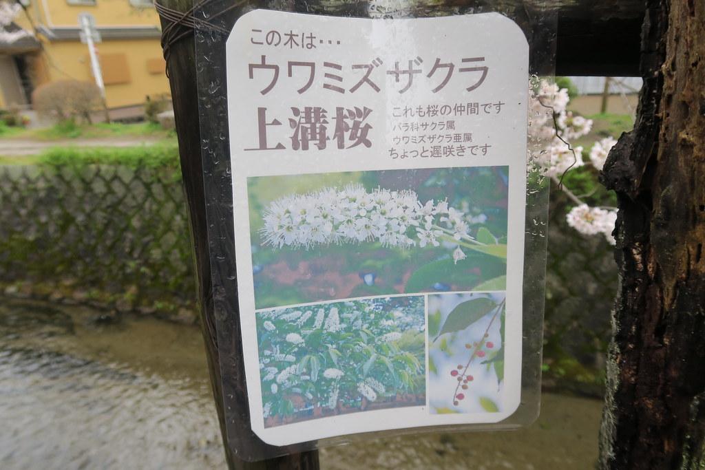 原來櫻花還有這種形狀的,長知識了!