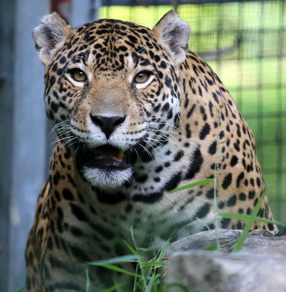 The New Jaguar: REGION-South America, The Jaguar Is The Largest