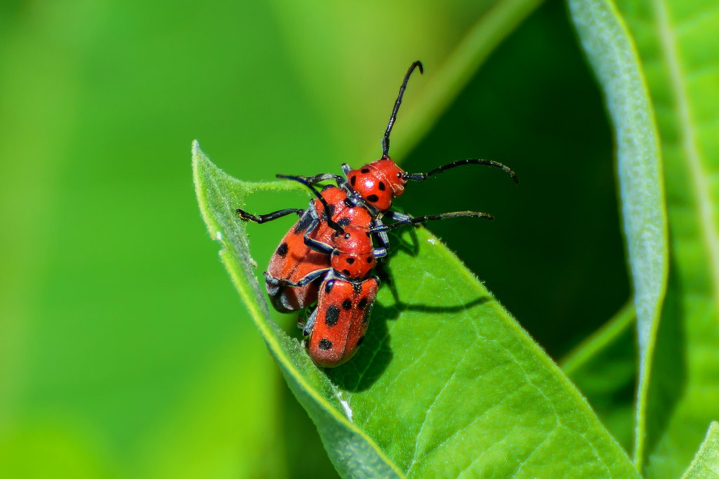 how to kill milkweed beetles