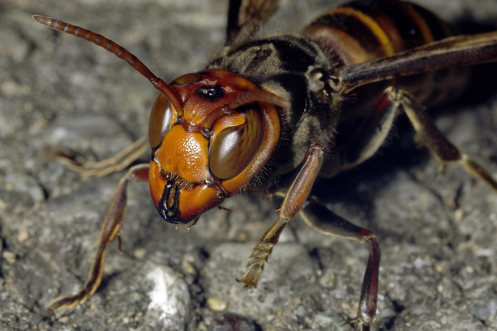 Japanese Giant Hornet, Vespa mandarinia japonica (Smith, 1852 ...