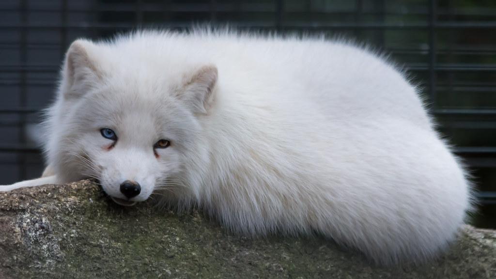 Arctic Fox Polarfuchs 2 Odd Eyed Arcticfox