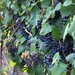 2013 Petit Verdot grapes veraison, Jordan Winery