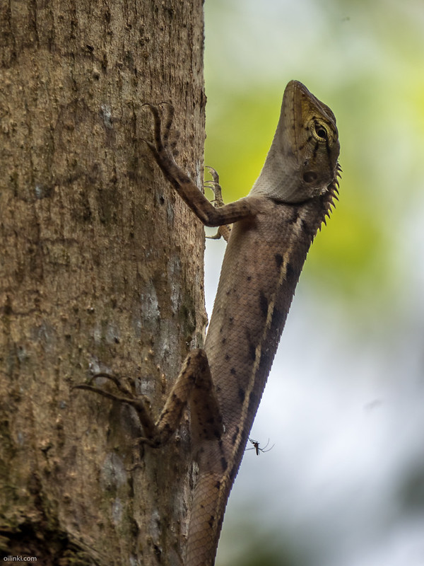 Common garden lizard Thailand