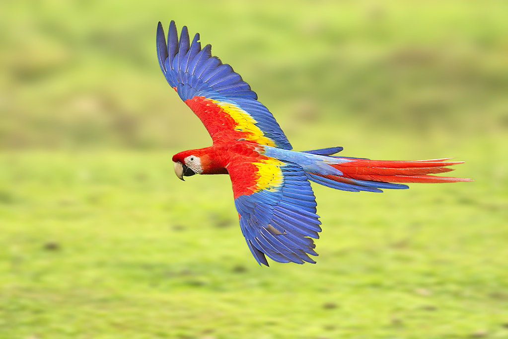 Red Macaw Parrot Flying Scarlet Macaw Fly-by |...