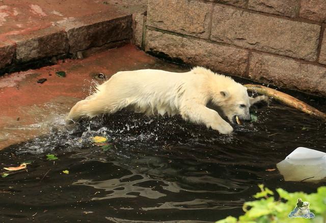 Eisbär Fiete im Zoo Rostock 14.06.2015  56