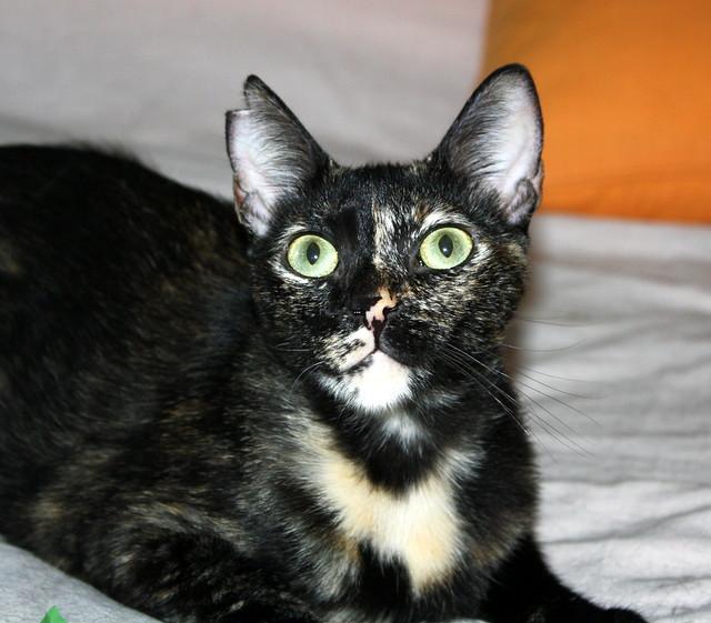 FALLECIDA- Mandala, preciosa gatita carey dulcísima de ojos verdes esterilizada, nacida en Julio´14, en adopción. Valencia. 19997579922_1b475e4953_z