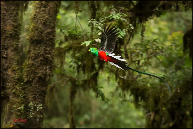 Resplendent Quetzal  Pharomachrus mocinno  in flightQuetzal In Flight