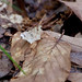 Promiscuous Angle Moth (Macaria promiscuata)