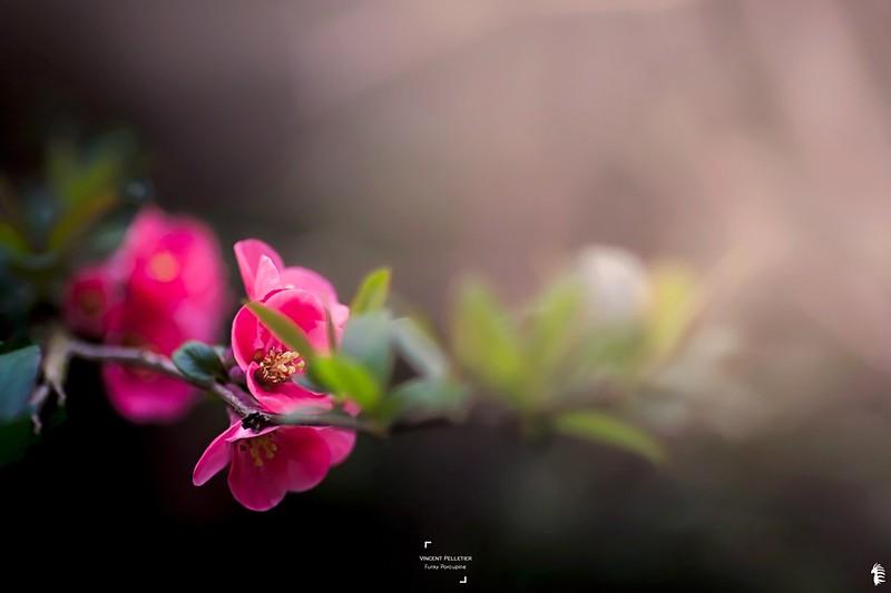 Cherry flower photography