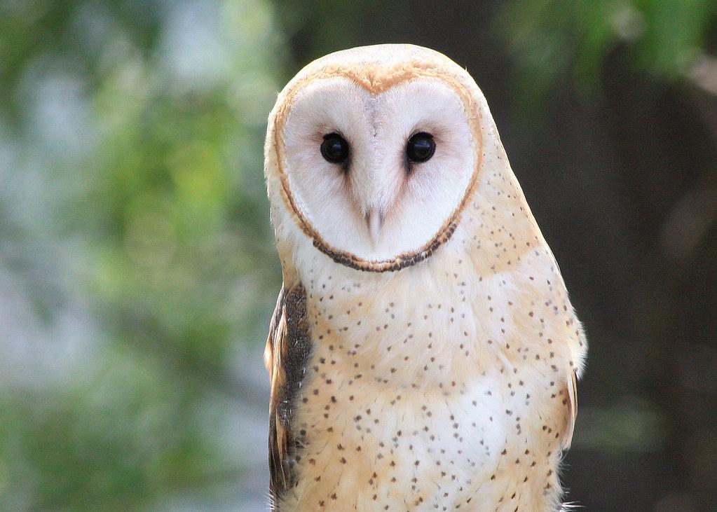 2286 barn owl munsel odfw photo by kathy munsel oregon for Oregon fish and wildlife jobs