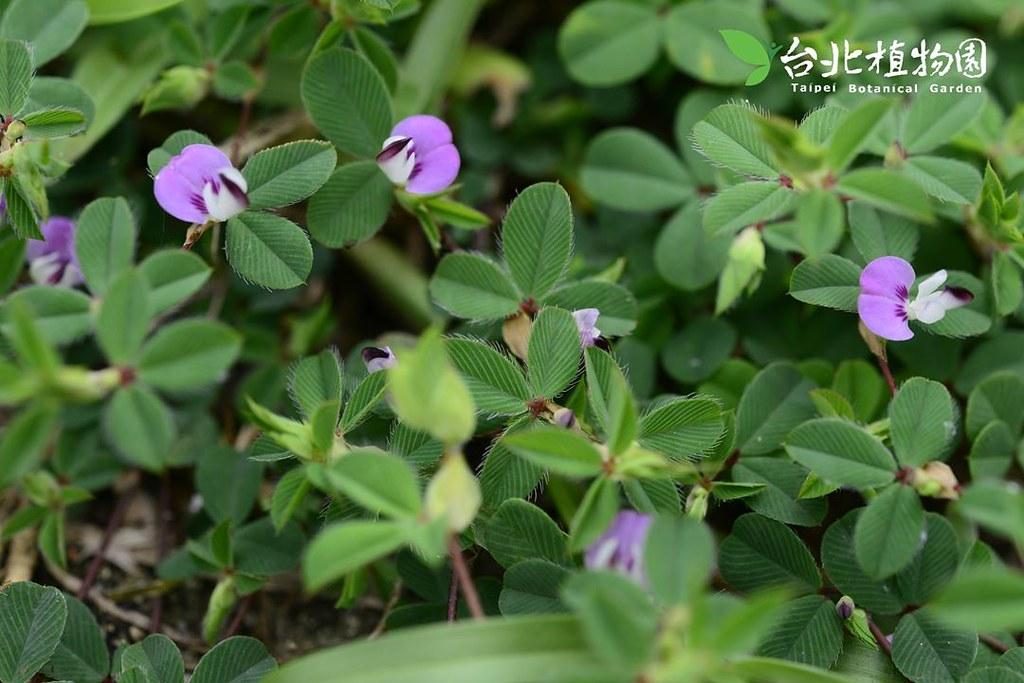 圓葉雞眼草。圖片來源:台北植物園。