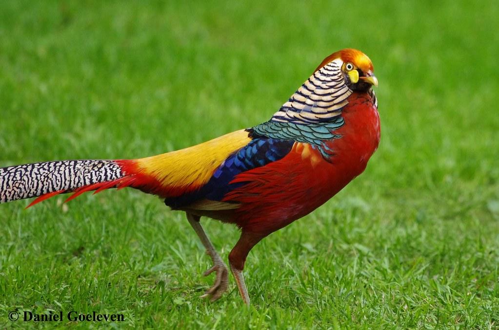 Golden pheasant faisan dor chrysolophus pictus phasi - Comment cuisiner un faisan en cocotte ...