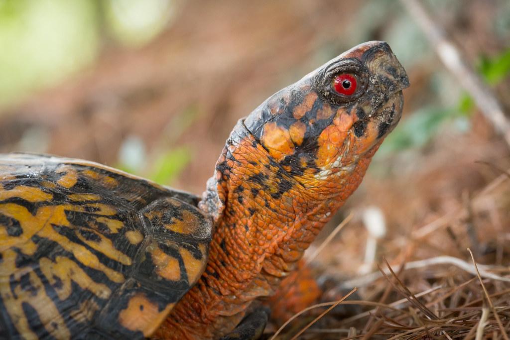 R Turtles Lucky Backyard Box Turtle | ...