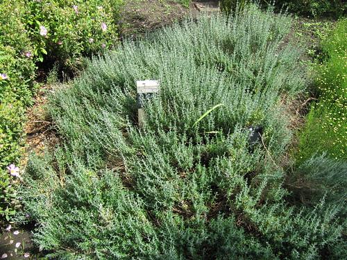 Teucrium marum (Cat Thyme)