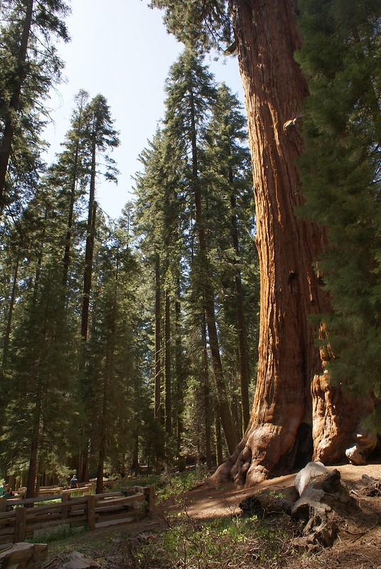> General Sherman : L'arbre le plus volumineux du monde. Et l'un des plus grand séquoia au monde.