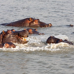 Hippos having fun